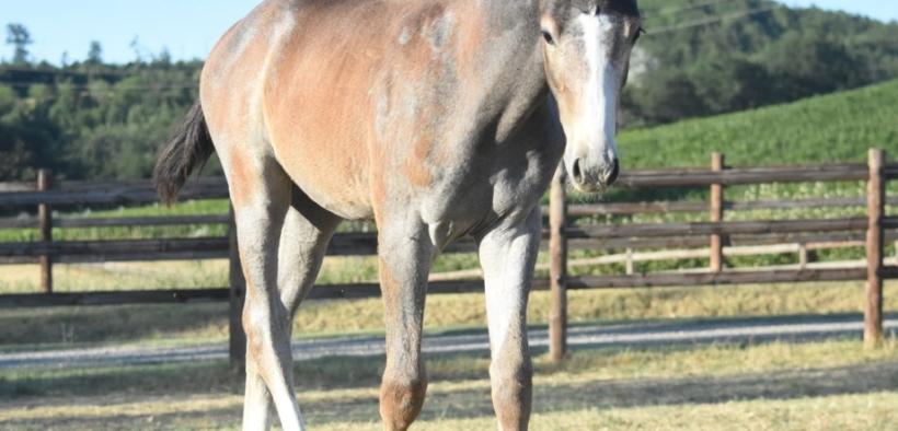Il prezzo pagato per cavalli selezionati con movimenti spettacolari