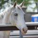 Occhi/o azzurri/o dei cavalli, quante leggende!