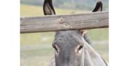 5 buoni motivi per avere degli asini in scuderia e un buon libro per conoscerli