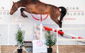 Il 18 gennaio in scena a Lier la BWP Top Stallion Auction