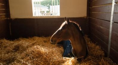 Dorme In Piedi Come I Cavalli Vero O Falso Equestrian Insights
