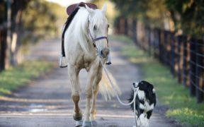 Cavalli e cani s'intendono nel divertirsi insieme