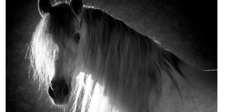 Alla scoperta dei cavalli iberici: andalusi e lusitani 4