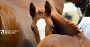 La taglia della fattrice può influire sulla nascita del puledro? uno studio austriaco