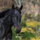 Il nero è geneticamente il colore dominante per il mantello dei cavalli