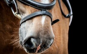 EHV-1, FEI informa: un cavallo positivo al rientro da Gorla Minore
