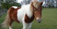 """Addio a """"Zio George"""", il mitico pony di oltre 40 anni"""