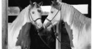 Arriva la conferma dall'Università di Pisa: i cavalli si riconoscono allo specchio