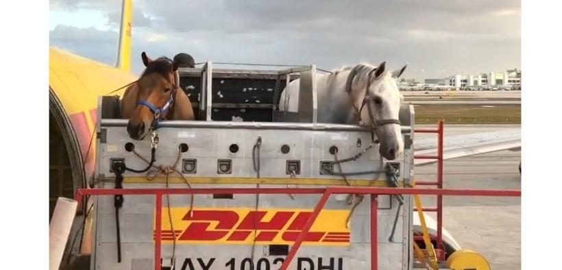 I primi cavalli in volo verso Tokyo 2020: ma come si svolge il trasporto aereo?